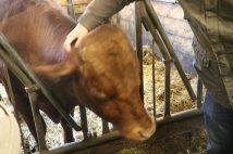 Questo toro non avrà la fortuna di essere rilasciato oggi
